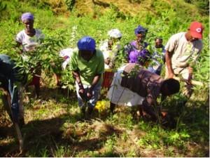 plantacion tiroli